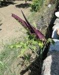 stinky-plant