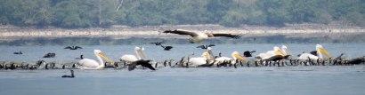 pelican-banner-flying