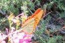 portakal-kelebek